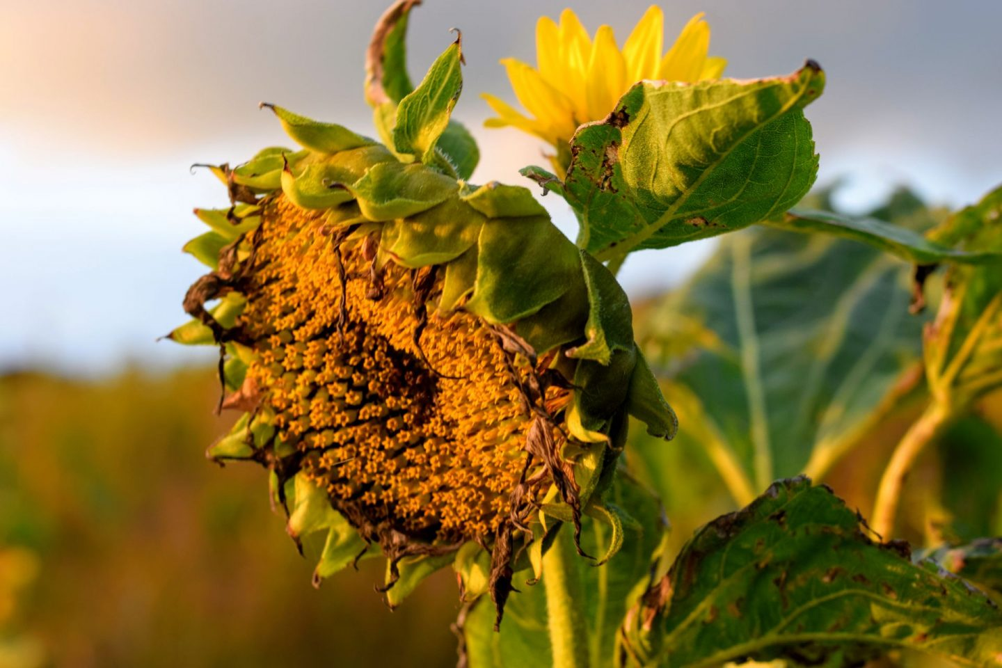 , Snapshots:  The Last of the Summer Sunflowers, Mountain Farm, Broad Haven